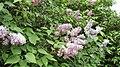Syringa vulgaris. Lilá.jpg