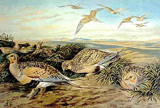 Pallas's sandgrouse - Image: Syrrhaptes paradoxus