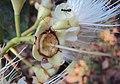 Syzygium mundagam 15.JPG