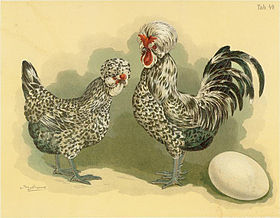Image illustrative de l'article Poule de Houdan