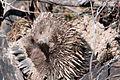 Tachyglossus aculeatus (Short-beaked Echidna), Moora Track, Grampians National Park, Victoria Australia (5044252624).jpg