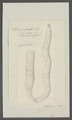 Taenia plicata - - Print - Iconographia Zoologica - Special Collections University of Amsterdam - UBAINV0274 105 19 0025.tif