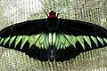 Tanah Rata, Malaysia, Large butterfly.jpg