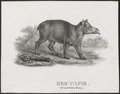 Tapirus spec. - 1700-1880 - Print - Iconographia Zoologica - Special Collections University of Amsterdam - UBA01 IZ22000261.tif