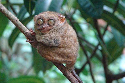 Philippine tarsier (Tarsius syrichta), one of the smallest primates. Tarsius syrichta.jpg
