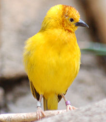 Taveta Golden-weaver Ploceus castaneiceps National Aviary 1000px.jpg