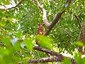 Tawny Fish Owl - Ketupa flavipes - P1020707.jpg