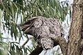 Tawny Frogmouth - Podargus strigoides (6942863976).jpg