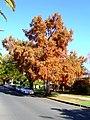 Taxodium distichum growing as a street tree (2).jpg