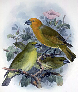 By John Gerrard Keulemans