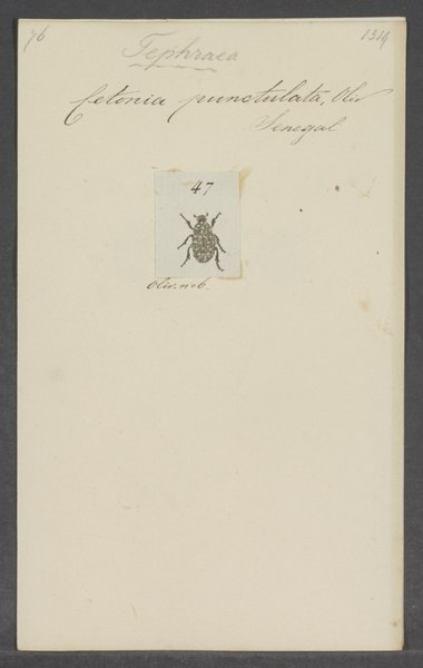 File:Tephraea - Print - Iconographia Zoologica - Special Collections University of Amsterdam - UBAINV0274 022 06 0037.tif