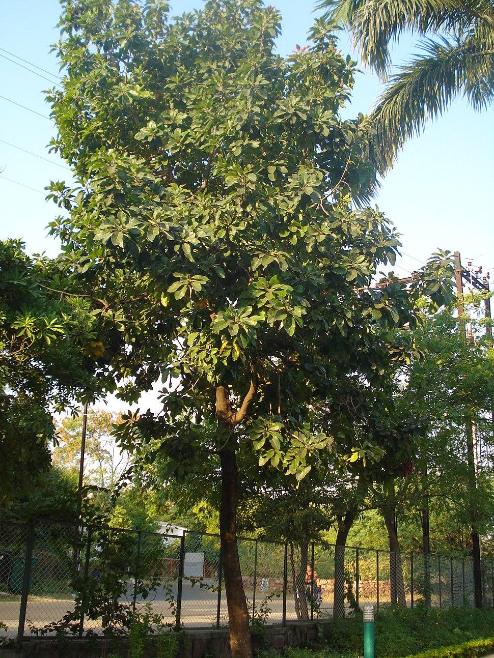 Terminalia belerica Bhopal