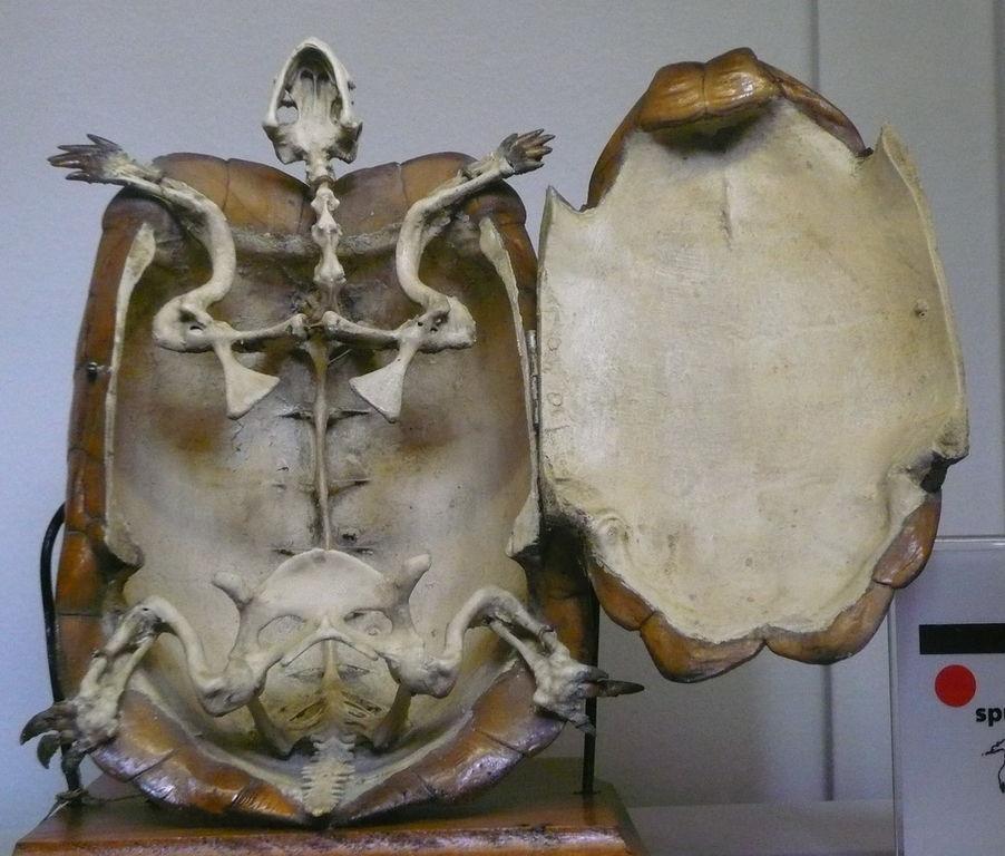 File testudo hermanni wikimedia commons for Tartaruga di terra maschio o femmina
