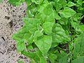 Tetragonia tetragonioides leaf3 - Flickr - Macleay Grass Man.jpg