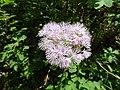 Thalictrum aquilegiifolium L. (7462111866).jpg
