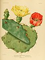 The Cactaceae (Plate XXXI) (6026510636).jpg