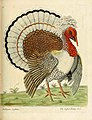 The Crested Turkey Cock.jpg