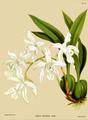 The Orchid Album-02-0021-0054-Coelia cristata alba.png