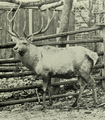 The deer of all lands (1898) Bukhara red deer.png