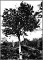 The indigenous trees of the Hawaiian Islands (1913) (20725971585).jpg