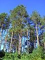 The pine-trees in the forestry. September 2013. - Сосны в лесничестве. Сентябрь 2013. - panoramio.jpg
