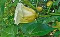 Thespesia populnea (Malvaceae).jpg