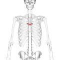 Thoracic vertebra 6 anterior.png