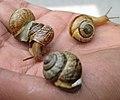Three snails on hand.jpg
