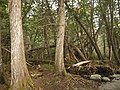 Thuja forest at Passerelle des Eaux-Vives PN de la Gaspesie 1.jpg