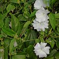 Thunbergia fragrans.jpg