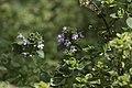 Thymus citriodorus- Citroenthijm (48020693032).jpg
