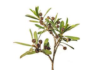 Burgan Ti-tree. Leptospermum phylicoides