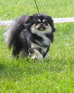 Tibetan spaniel Cim-Cill Happy Feet Moletai May 2014.jpg