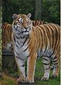 Tigers at Woburn Safari Park.jpg