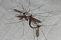 Tipula lateralis (36735096746).jpg