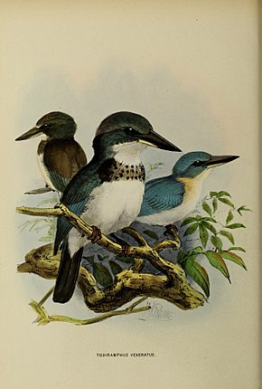 Description de l'image Todiramphus veneratus by John Gerrard Keulemans.jpg.