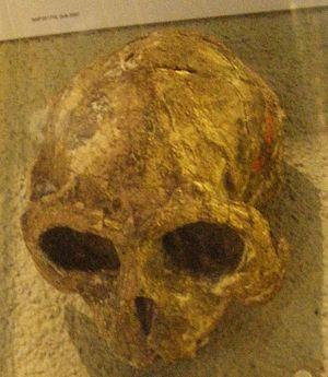 Lutung - Trachypithecus cristatus robustus skull