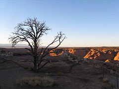 Tree, Canyon de Chelly, Apache County AZ.jpg