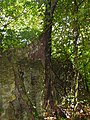 Tree Roots in limestone formations (15474852500).jpg