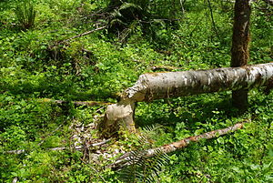 Tree chewed through by beavers along the Tuala...