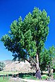 Tree in Drewsey (Harney County, Oregon scenic images) (harDA0016c).jpg