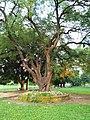 Tree in Ramna Park 1.jpg