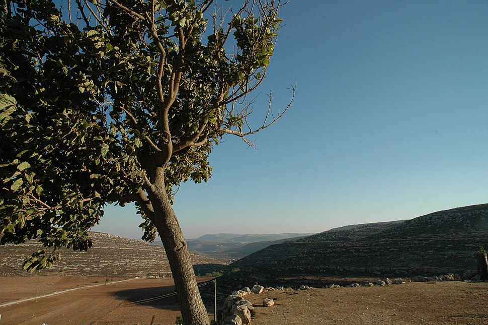 Tree in the West Bank