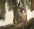 Tree sparrow (23796964858).jpg