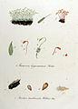 Trichia turbinata — Flora Batava — Volume v11.jpg