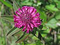 Trifolium alpestre (27235926952).jpg