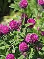 Trifolium alpestre Koniczyna dwukłosowa 2015 03.jpg