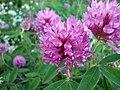 Trifolium medium - Metsäapila DSC03599 C.JPG