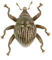 Trigonopterus agathis holotype - ZooKeys-280-001-g003.jpg