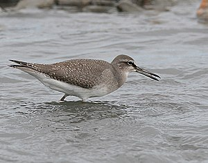 Grey-tailed tattler - Breeding plumage